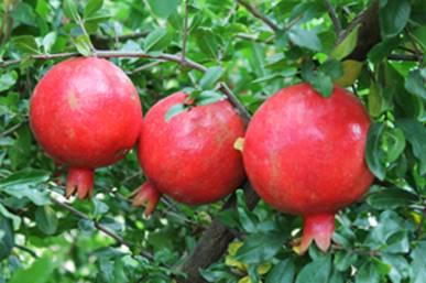 fruit cultivation pdf