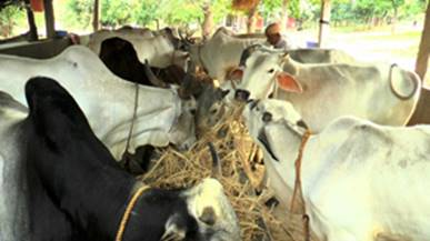 Hf cow breed in india
